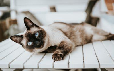 Siamkatze Mrs. Fifi Greywhiskers erklärt wie die Tierkommunikation funktioniert